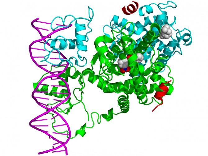 DNA(보라색)에 결합하고 있는 PPAR-γ (초록색)의 모습 - 위키미디어 제공